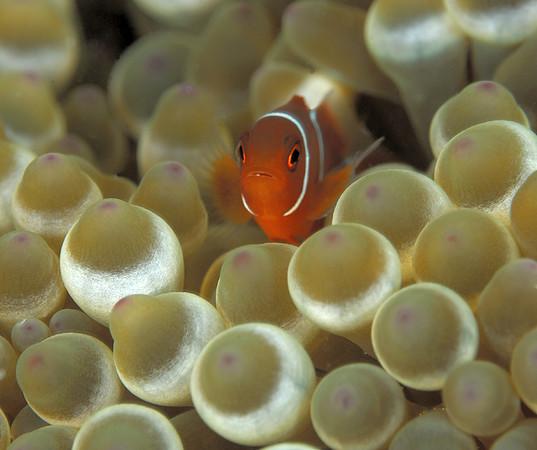 A juvenile Anemonefish, Pulau Seribu, Java, Indonesia.