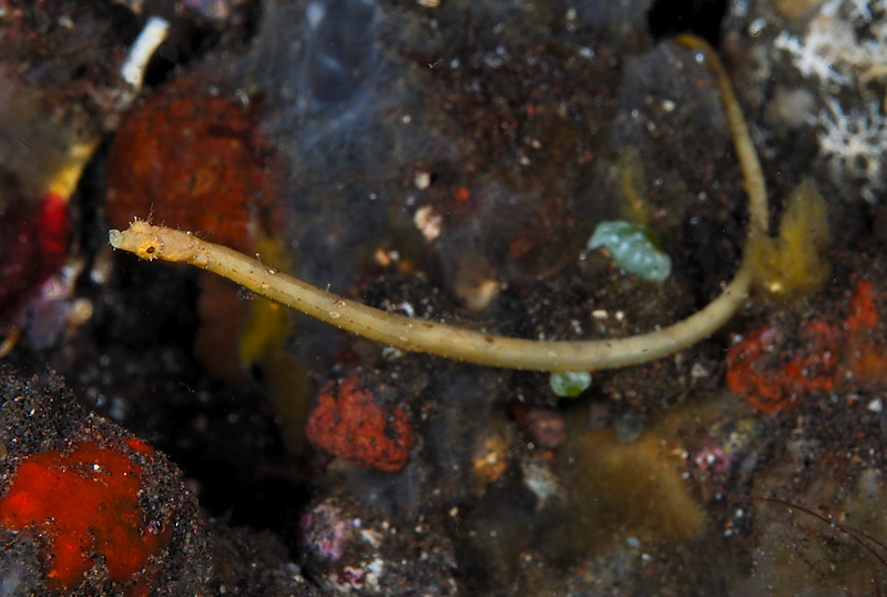 Red-hair Pipefish (Halicampus dunckeri), Liberty Wreck, Tulamben, Bali, November 2007.