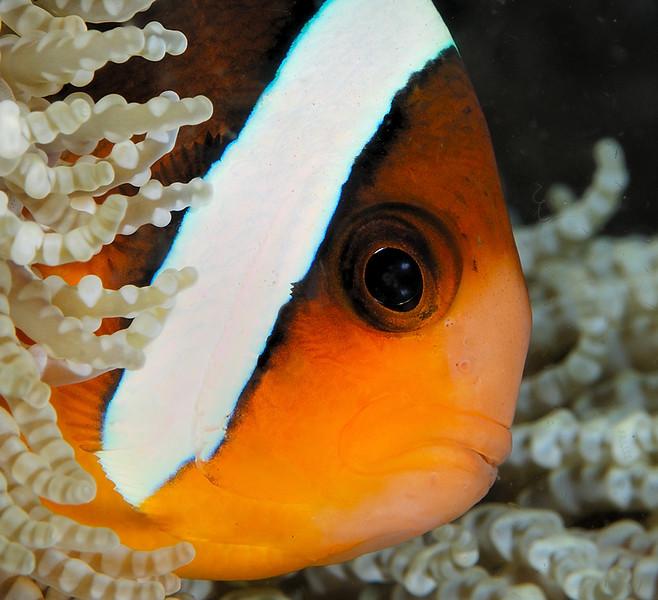 Anemonefish, Coral Garden, Tulamben, Bali, November, 2007.