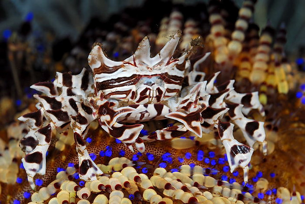 The aptly named Zebra Crab.  Seraya, Bali, Indonesia.
