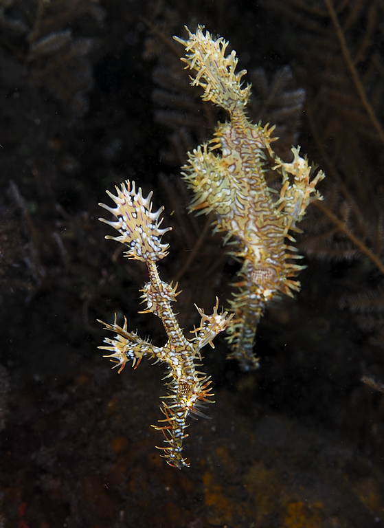 A pair of Ornate Ghostpipefish, Tulamben, Bali, November 2007.