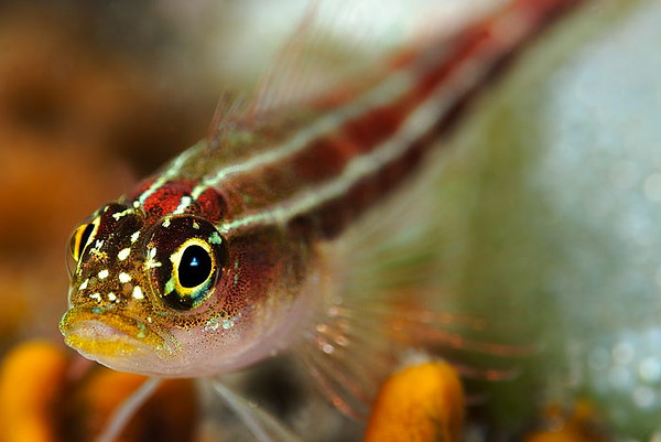 Striped Triplefin Blenny, Dropoff, Tulamben, Bali, Indonesia