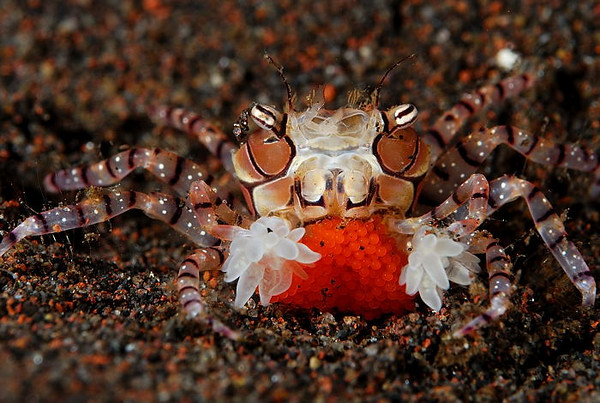 A Boxer Crab, about the size of a baby fingernail, protects a clutch of red eggs.  The Boxer Crab protects itself by waving small stinging anemones, that look like Pom-Poms, at intruders. Seraya, Bali, Indonesia.