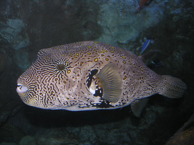 © Joseph Dougherty. All rights reserved.   Map Puffer, Arothron mappa.    This is a pufferfish of the genus Arothron, and can be found in reefs throughout the Pacific Ocean and Indian Ocean. It reaches a maximum length of 65 cm.  It has an oval shape and the body is covered in small prickles. It is gray in color with black patterns, which could be considered map like in appearance, its identifying feature. It feeds on algae, corals, sponges, sea squirts, crustaceans and mollusks.  Like most puffers, the map puffer is highly poisonous to eat.