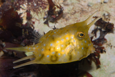 "© Joseph W. Dougherty. All rights reserved.  Lactoria cornuta  (Linnaeus, 1758) Longhorned cowfish  The Longhorned Cowfish is one of the largest and most popular species of Cowfish. These almost alien-like fish have a pair of horns that come out above each of their eyes! They can grow up to 18"" in the wild, or about 12"" when kept in an aquarium."