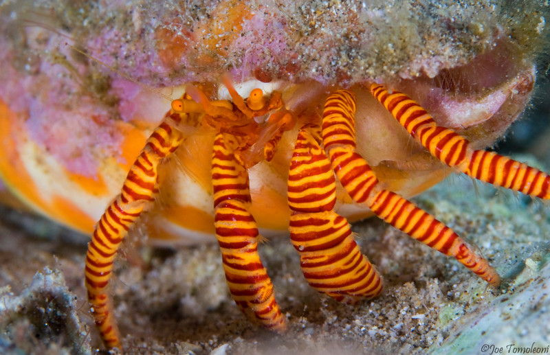 Cone Shell Hermit Crab