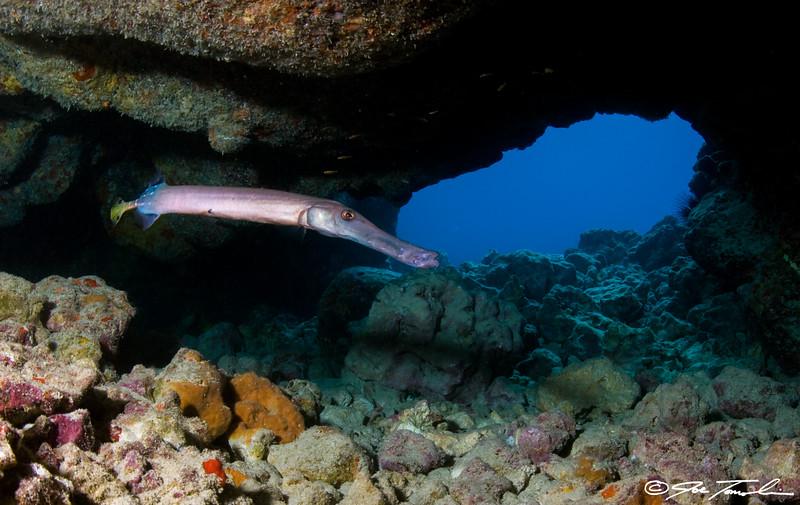 Pacific Trumpetfish