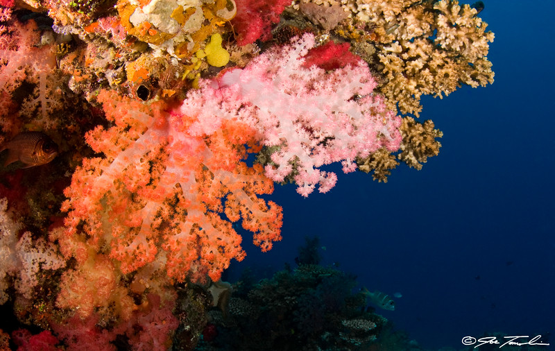 "Soft Coral at ""The Ledge"""