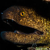 Yellow-margin Moray Eel