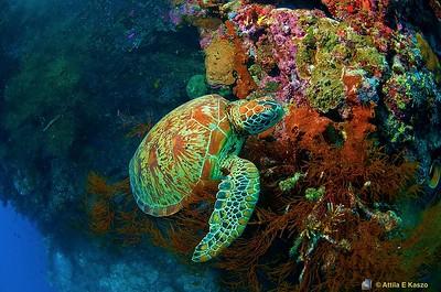 Hawksbill Turtle (Ertetmochelys imbricata) Sipidan Is., Sabah, Borneo, Malaysia