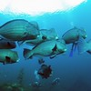 Humphead Parrotfish (Bolbometopon muricatum) Tulamben, Bali, Indonesia