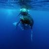 Humpback Whale (Megaptera novaeangliae)<br /> Vava'u, Tonga