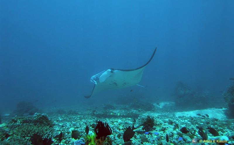 Manta Ray (Manta alfredi) Manta Point, Flores, Indonesia