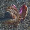 Bristle Worm (Amphinome sp.) Secret Bay, Gili Manuk, Bali, Indonesia