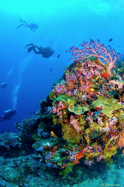 Divers / Coral Reef, Sipidan Is., Sabah, Borneo, Malaysia