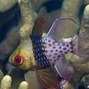 Pajama Cardinalfish (Sphaeramia nematoptera) - Menjangan, Bali, Indonesia