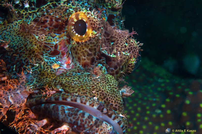 Reef Scorpionfish (Scorpaenopsis cirrhosa) Flores, Indonesia