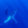 Humpback Whale (Megaptera navaeangliae) - Eua Is., Tonga