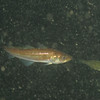 Pacific Tomcod<br /> Sund Rock<br /> Swimming in with Shiner perch school<br /> Low DO period