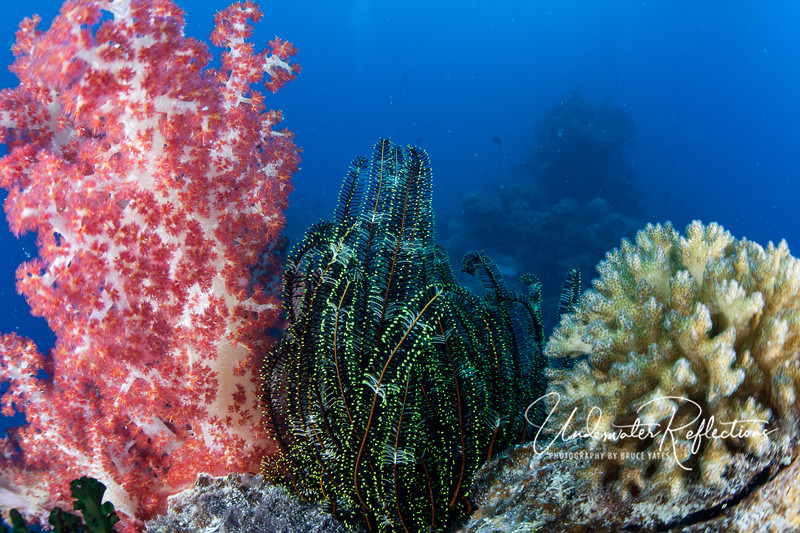 "Trio of color.  A red soft coral, green crinoid, and hard coral sit side by side on a wreck.  All three are animals, not plants, but of the three, only the crinoid is mobile, able both to crawl on little claw-like feet and ""swim"" by flapping its green-tipped arms.  The two corals will spend their lives in this location."