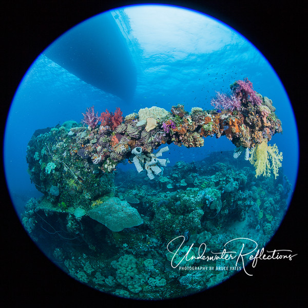 Recaptured by nature - a large bow gun is completely overgrown with colorful corals and sponges.  Although the dive boat above looks nearby, it is likely at least 80 feet above.  Almost all of the wrecks we dove were 100-120 feet deep.