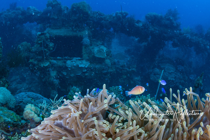 Although I didn't spot very many large fish on the wrecks, blue damselfishes and pink anemonefishes were plentiful.