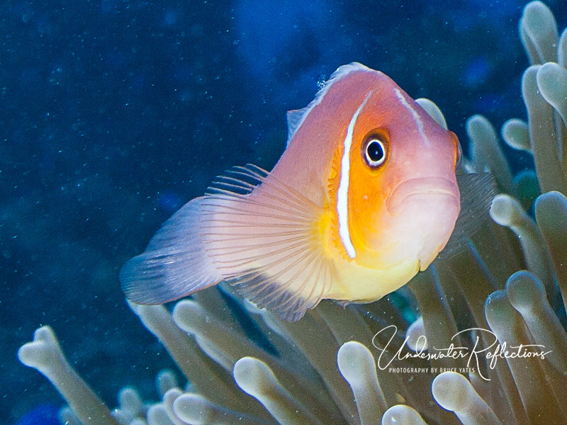 Pink anemonefish (with unusually bright orange accents).