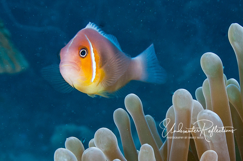 A pink anemonefish tries to act intimidating.  It is not unusual for pink anemonefishes to have some orange-ish coloration, but these had the brightest orange I've ever seen on this species.