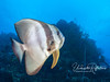A close-up of a dinner-plate-sized batfish, or spadefish.
