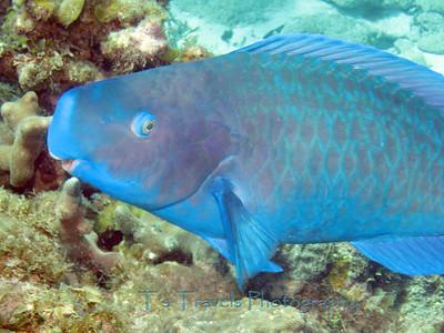 Blue Parrotfish, Utila '10