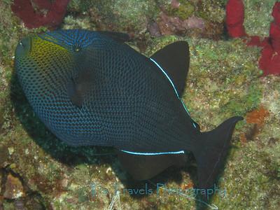 Black Durgon, St.Lucia '11