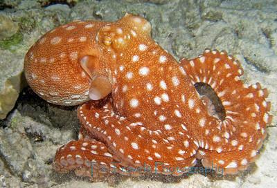 Octopus, Bonaire '11