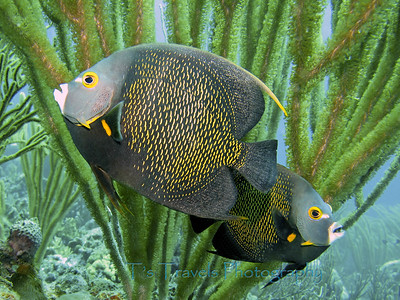 Pair of Queen Angelfish, Bonaire '11