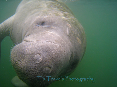 Manatee checking me out, Crystal River, Florida '10