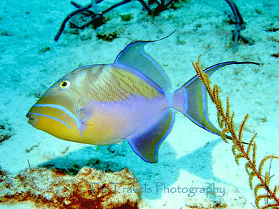 Queen Triggerfish, Turks & Caicos '12