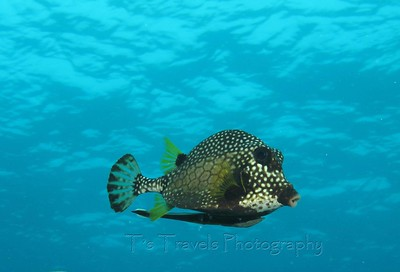 Smooth Trunkfish with an unusual remora clinging on, Key Largo, Florida '10
