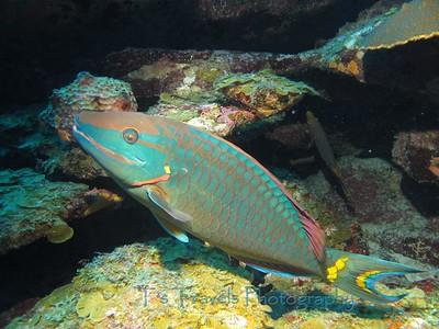 Redband Parrotfish, Utila '10