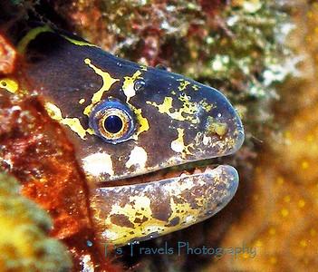 Chain Moray Eel, Bonaire '10