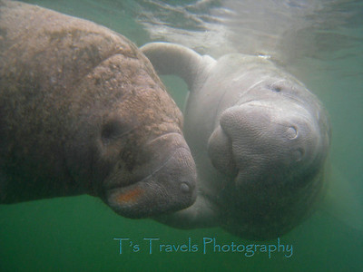 Manatees, Crystal River, Florida '10