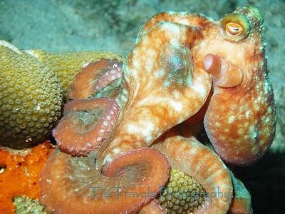 Octopus, Bonaire '07