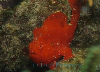 Frogfish, we named Scarlet and visited everyday since we were lucky enough to have it stay on the reef in front of our condo in Utila '10