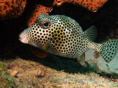Spotted Trunkfish, Bonaire '07
