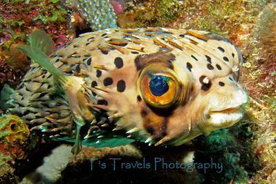 Balloonfish, Bonaire '07