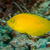 Yellow Pygmy Angelfish