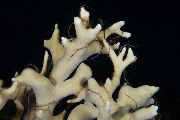 brittle stars on antler coral