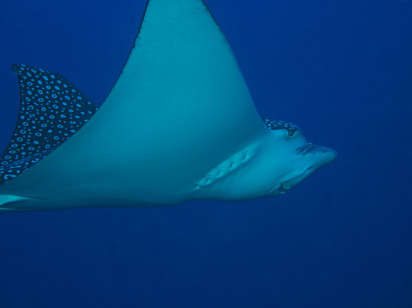 Now, that's a pretty smile<br /> (how close did you get to this eagle ray??)