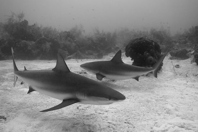 Gray Reef Sharks  A pair of Gray Reef Sharks cruise the Gullies.  Turks & Caicos