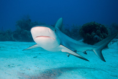 Gray Reef Shark     The sharks at a dive site called Gullies are extremely curious.  Turks & Caicos