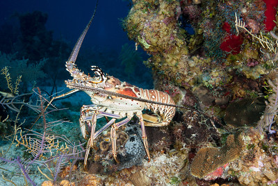 Spiny Lobster  A Spiny Lobster emerges from a crevice in the reef top.  Turks & Caicos