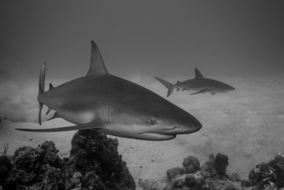 Gray Reef Sharks        A pair of Gray Reef Sharks sprint across the sand flats at Gullies, West Caicos.  Turks & Caicos